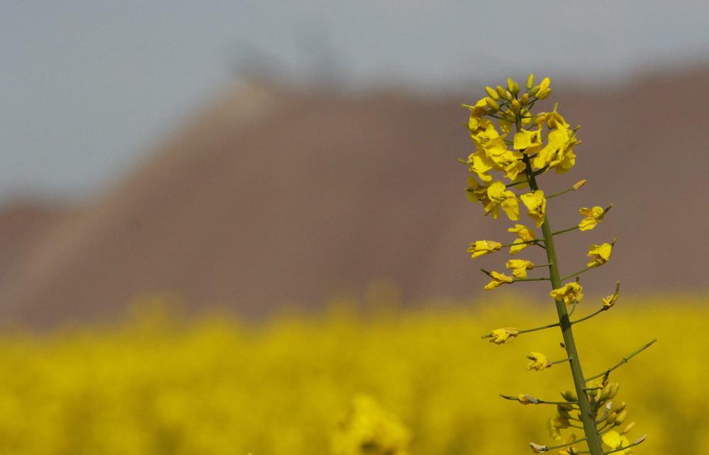 Цветущий рапс около Солигорска