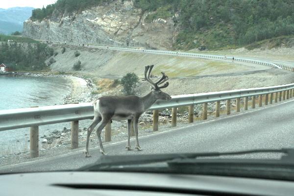 Северный олень на дороге. Норвегия