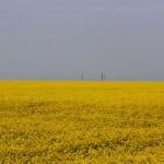 Под Солигорском рапс цветет на фоне терриконов