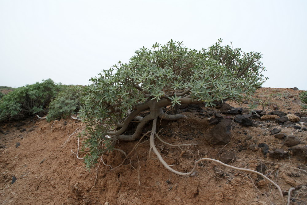 съедобный кактус, Гран-Канария