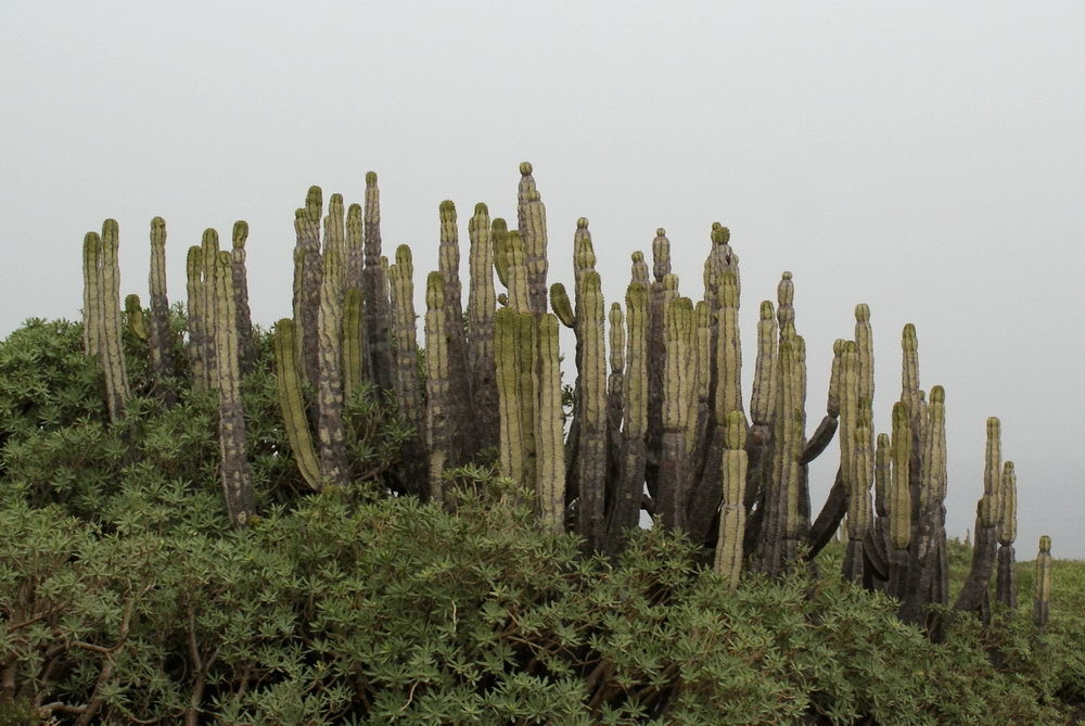 флора , Гран-Канария