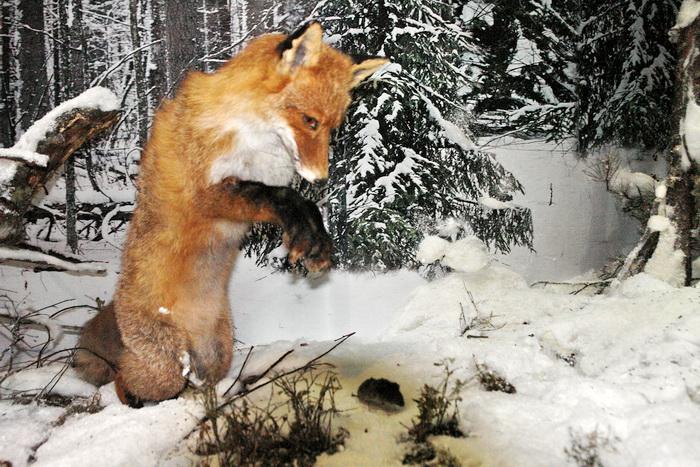 Беловежская пуща, Музей Природы. Лиса мышкует