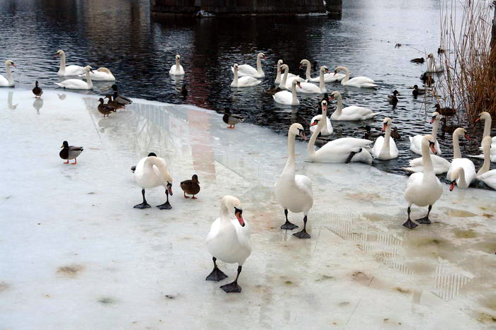 Миколайки. Лебеди