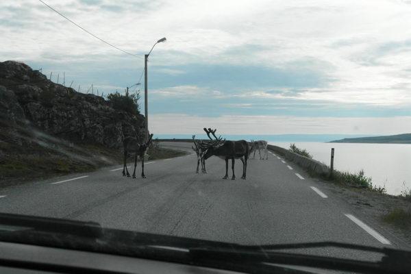 Олени оккупировали дорогу на Нордкапп