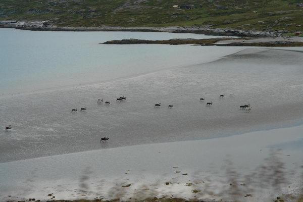 Олени бредут по берегу Порсангер фьорда