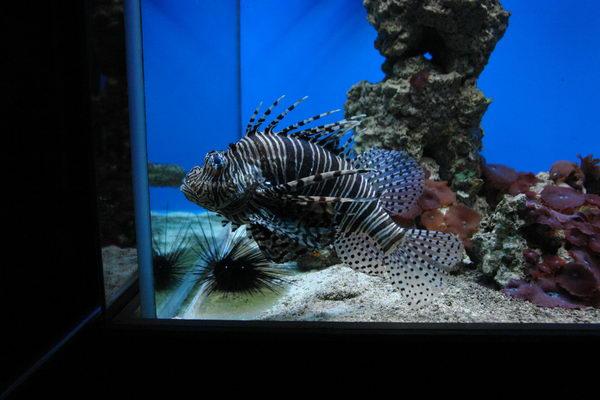 Штральзунд, Meeresmuseum, Морской музей, аквариум Рыба зебра и светящийся морской еж