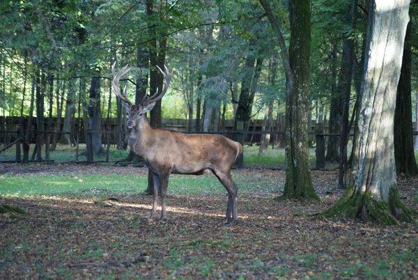 Беловежская пуща, питомник зубров, благородный олень