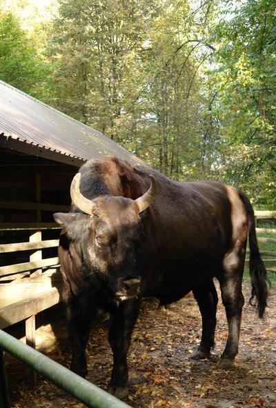 Беловежская пуща, питомник зубров, зуброня, гибрид зубра и коровы