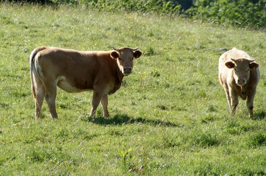 Франция. Центральный массив, мраморное мясо