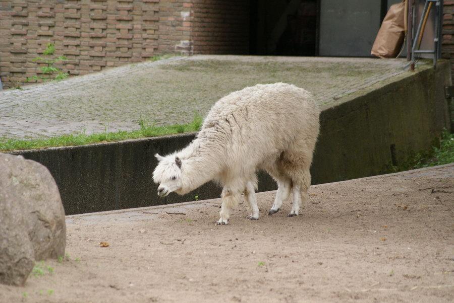 Берлинский зоопарк. Альпака