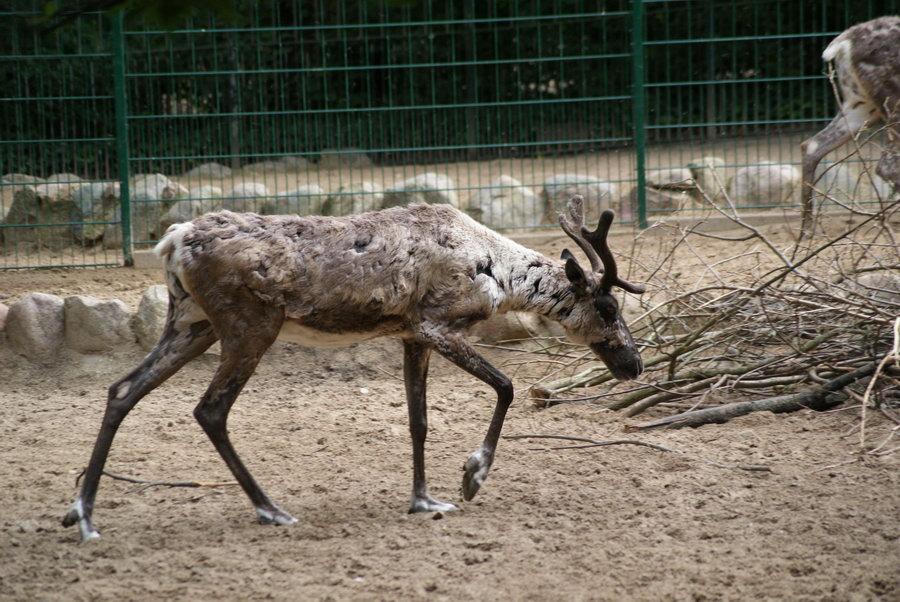 Берлинский зоопарк. Северный олень