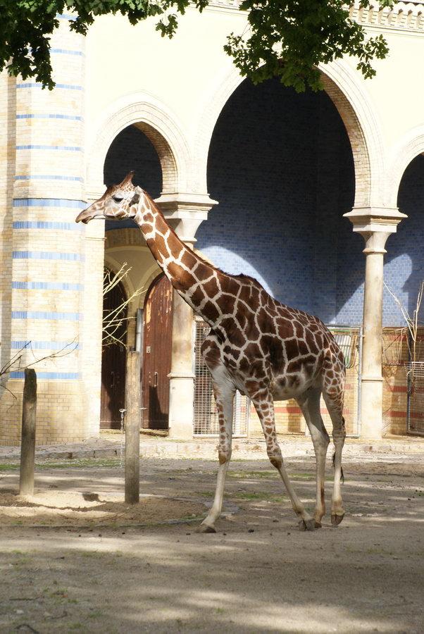 Берлинский зоопарк. Жираф