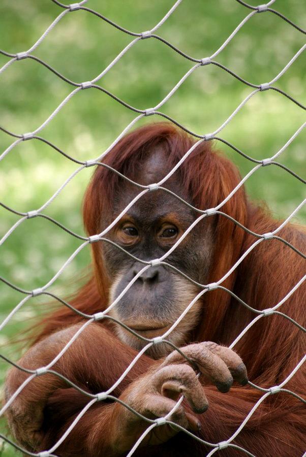 Берлинский зоопарк. Орангутан