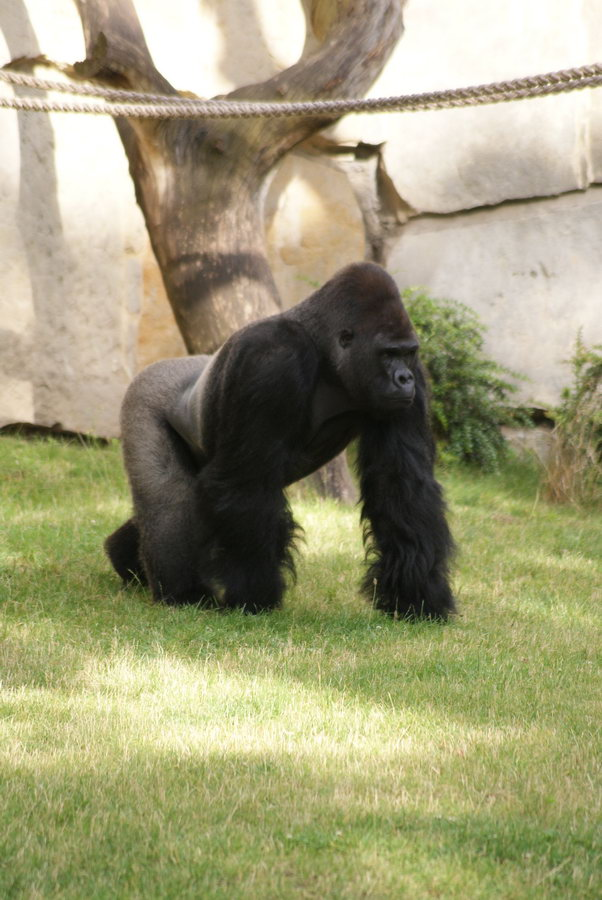 Берлинский зоопарк. Гориллы
