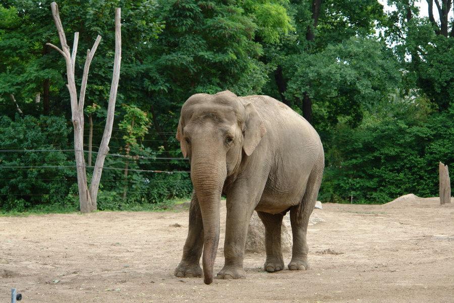Берлинский зоопарк. Слоны