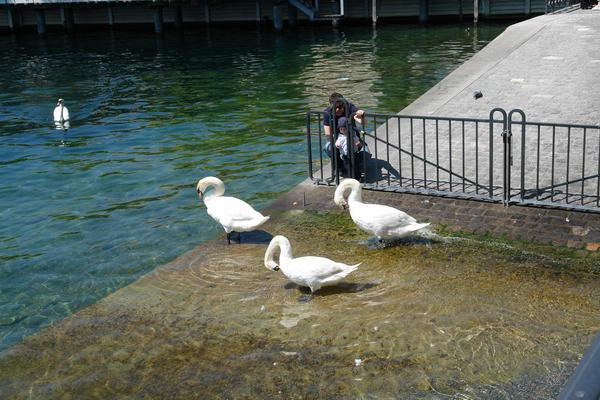 Цюрих, Лебеди